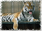 Tiger RV Mural for the back of your RV by the Square Foot