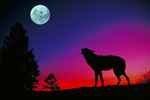 Wolf RV Mural for the back of your RV by the Square Foot NOT Laminated