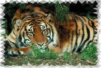 Tiger Mural For Your Rv By The Square Foot