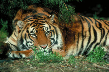 Tiger Mural For Your Rv By The Square Foot Not Laminated